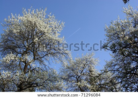 Old meadow orchard (Streuobstwiese) with blooming cherry and plum trees - stock photo