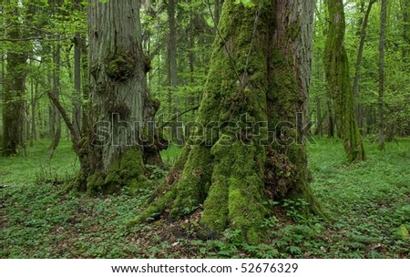 Old moss covered linden trees inside natural deciduous stand of Bialowieza Forest in springtime - stock photo