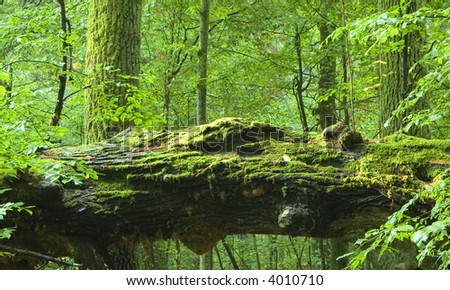 Old natural deciduous forest with big dead oak stump in foreground - stock photo