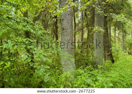 Old natural forest in the middle of summer, Europe,Poland,Bialowieza Forest - stock photo