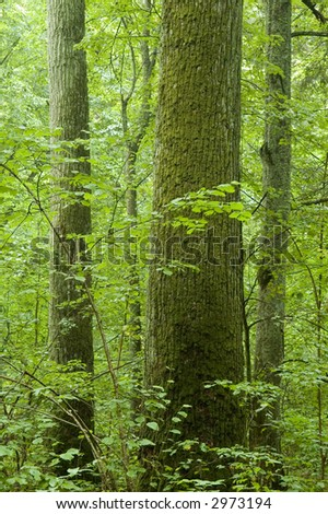 Old natural forest,summer, Europe,Poland,Bialowieza Forest - stock photo