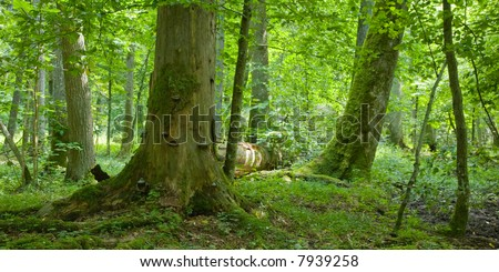 Old natural forest with dead wood