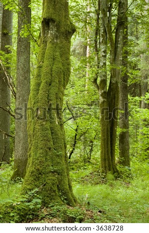 Old natural forest with mossy hornbeam tree trunk