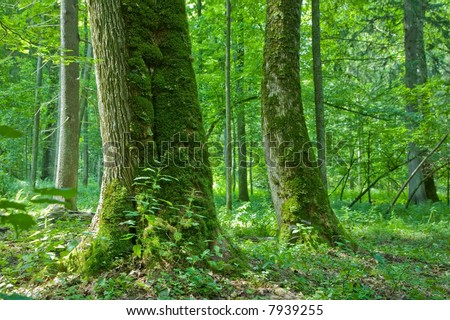 Old natural forest with old mossy maple tree in foreground - stock photo