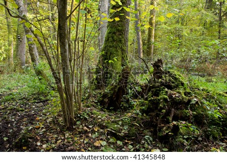Old natural stand of Bialowieza Forest with rest of decline tree in foreground - stock photo