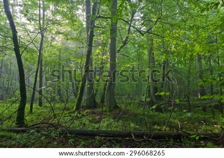 Old oak and hornbeams in natural late summer deciduous stand of Bialowieza Forest - stock photo