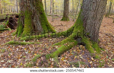 Old oak and spruce in autumnal deciduous stand of Bialowieza Forest in morning - stock photo