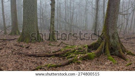 Old oak and spruce in autumnal deciduous stand of Bialowieza Forest in morning,Poland,Europe - stock photo