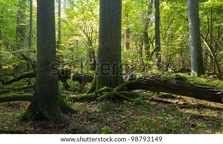 Old oak and spruce trees moss wrapped in deciduous stand with in early fall morning with old tree broken lying in background - stock photo