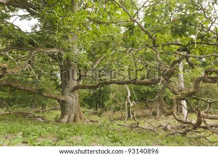 Old Oak forest, Strömsrum, Kalmar, Sweden - stock photo