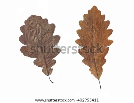 Old oak leaf isolated on white. Autumn leaf. - stock photo