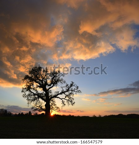 Old Oak Tree at Sunset