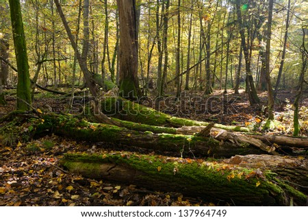 Old oak tree broken partly declined lying in autumnal landscape of deciduous stand - stock photo