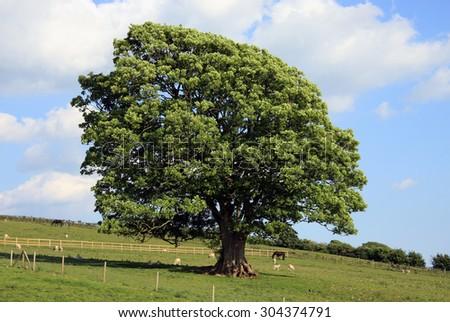 Old Oak Tree in a Field - stock photo