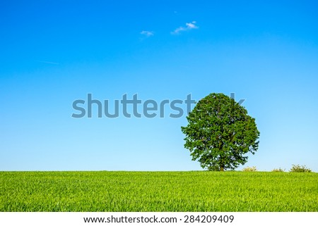 Old oak tree in a field of agricultural green crop under spring blue sky - stock photo