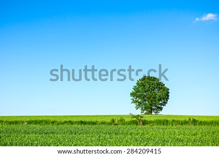 Old oak tree in a field of agricultural green crop under spring blue sky