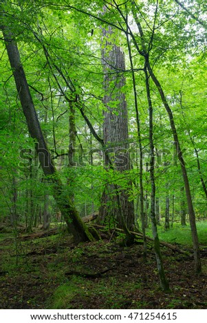 Old oak tree in hornbeam mainly deciduous stand,Bialowieza Forest,Poland,Europe
