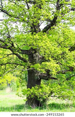 old oak tree in spring - stock photo