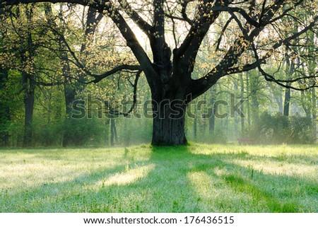 old oak tree in spring landscape,  nature - stock photo