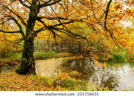 Old oak tree over a pond in cloudy autumn weather - autumn landscape
