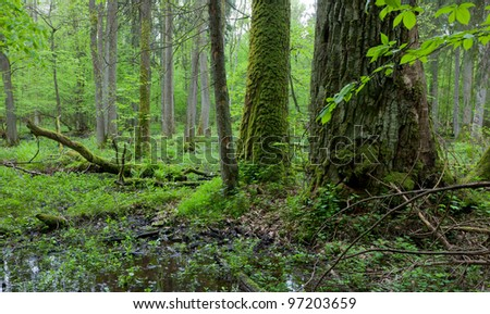 Old oak trees moss wrapped in deciduous stand with standing water and dead trees partly declined - stock photo