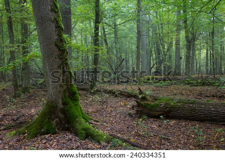 Old oaks in fall misty deciduous stand of Biaowieza Forest with old spruce tree in foreground - stock photo