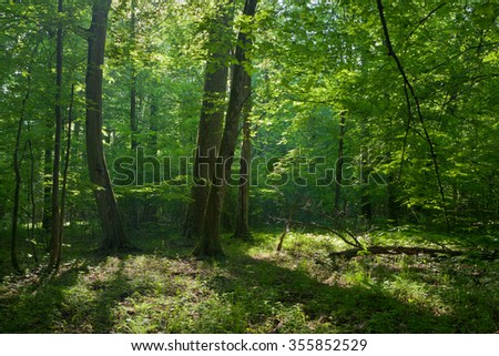 Old oask and hornbeams in natural late summer deciduous stand of Bilowieza Forest,Bialowieza Forest,Poland,Europe