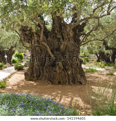 Old olive tree - stock photo