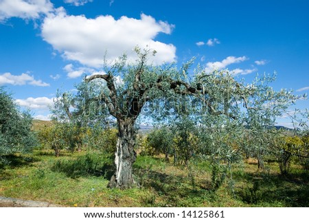 old olive tree and blue sky