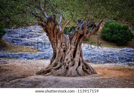 Old olive tree trunk, roots and branches - stock photo