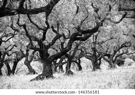 old olive trees - stock photo