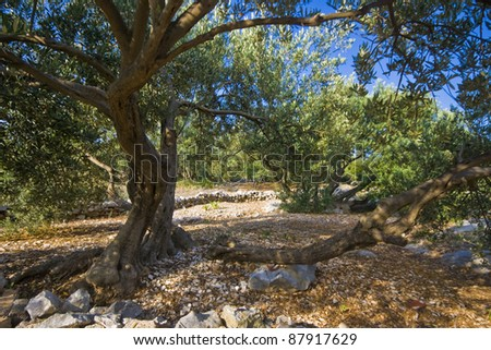 Old olive trees in island Krapanj, the smallest inhabited island of the Adriatic sea. - stock photo