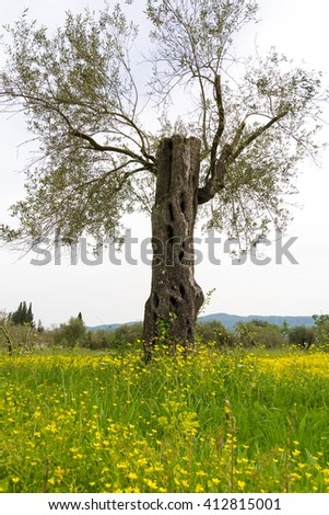 Old olive trees on meadow of flowers on Corfu, Greece - stock photo