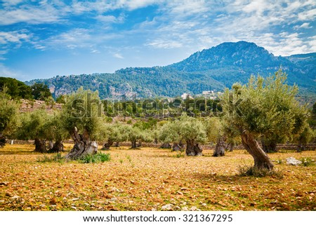old olive trees valley with red clay soil and mountains on a background, Mallorca, Spain - stock photo
