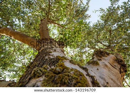 old olive treetop close up - stock photo