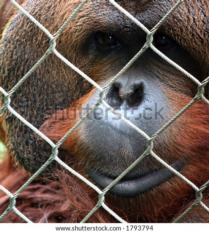 Old orangutan behind a chain link fence - stock photo