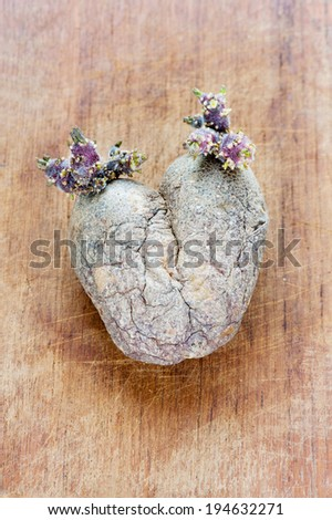 Old overripe wrinkled sprouted potato. Indoors closeup. - stock photo