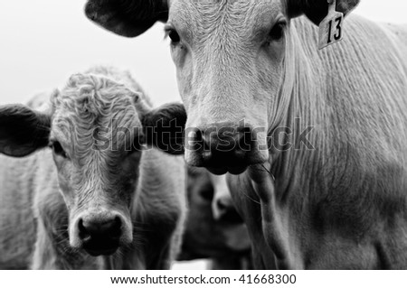 Old Photo of Cow and Calf - stock photo