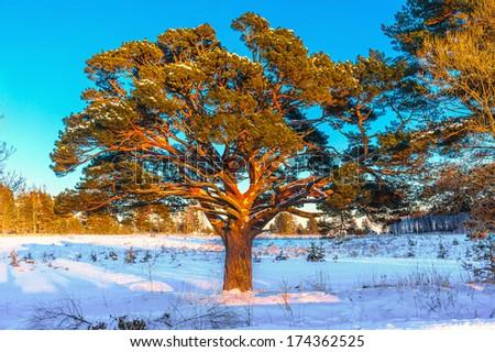 Old pine tree at sunset - stock photo