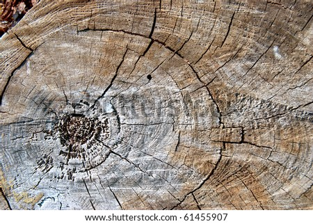 Old pine tree cut texture. - stock photo