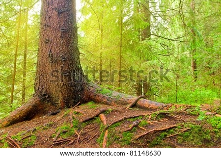 old pine tree in a forest