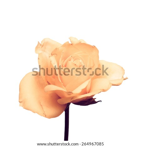 Old pink rose isolated on white background - stock photo