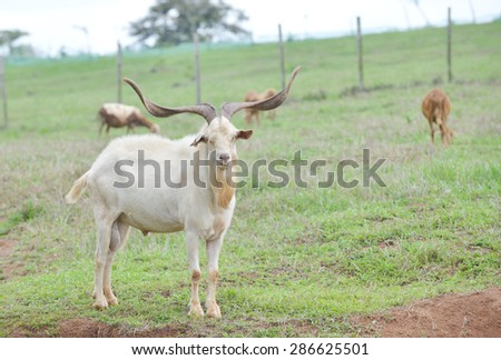 Old ram looking at his harem in a farm field - stock photo