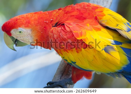 Old red parrot of Bali Bird Park, Indonesia