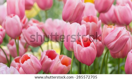 Old Rose Color Tulip Blooming Flower Fresh in Spring Garden - stock photo