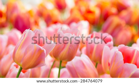 Old Rose Color Tulip Blooming Flower soft focus in the field - stock photo
