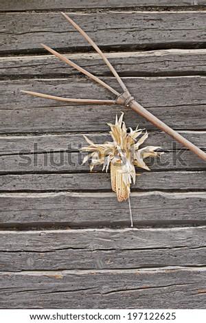 Old rusty rake on wall with dry corn - stock photo