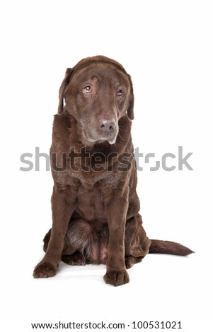 Old sad chocolate Labrador in front of a white background - stock photo