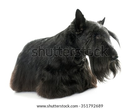 old scottish terrier in front of white background