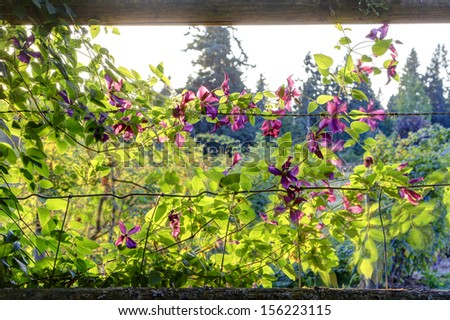 Old secret garden corner. Fence and sweet pink pea flowers. Sunset time on the farm.
